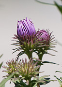 Reflections Of Infinity Llc Prints - Asters Ready to Bloom Print by Robert E Alter Reflections of Infinity