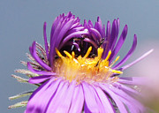 Asters Starting To Bloom Close-up Print by Robert E Alter Reflections of Infinity