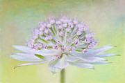 Textured Floral Framed Prints - Astrantia Art Framed Print by Jacky Parker