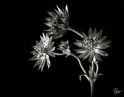 Flower Photos Framed Prints - Astrantia in Black and White Framed Print by Endre Balogh