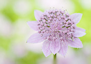 Flora Art Prints - Astrantia Larch Cottage Print by Jacky Parker