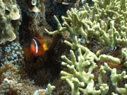 Anemonefish Prints - At Home on the Reef Print by Brian Governale