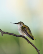 Ruby-throated Hummingbird Photos - At Rest 2 by Betty LaRue