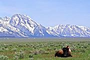 Bison Art - At Rest on the Range by Douglas Barnett