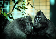 Macaques Prints - At the Think Tank Print by Rebecca Sherman