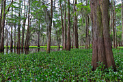 Invasive Species Photo Prints - Atchafalaya Swamp Print by Louise Heusinkveld