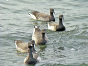 Mother Nature Photos - Atlantic Brant Geese - Branta bernicla hrota by Mother Nature
