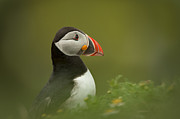 Puffin Photo Posters - Atlantic Puffin Poster by Andy Astbury