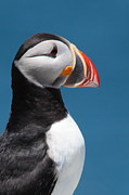 Puffin Photo Posters - Atlantic Puffin Poster by Bruce J Robinson