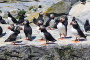 Seabird Metal Prints - Atlantic Puffin Colony Metal Print by John Burk