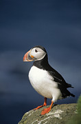 Puffin Framed Prints - Atlantic Puffin Fratercula Arctica Framed Print by Eric Wanders