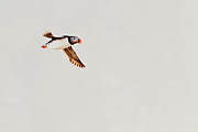 Puffin Photo Posters - Atlantic Puffin (fratercula Arctica) Flying Poster by Mikko Hyvärinen