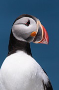 Puffin Metal Prints - Atlantic Puffin II Metal Print by Bruce J Robinson
