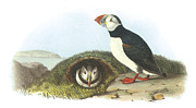 Shorebird Paintings - Atlantic Puffin by John James Audubon