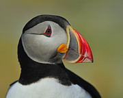 Arctica Posters - Atlantic Puffin Portrait Poster by Tony Beck