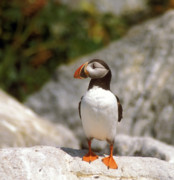 Atlantic Puffin Posters - Atlantic Puffin Profile Poster by John Burk