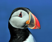 Atlantic Puffin Framed Prints - Atlantic Puffin Framed Print by Tony Beck