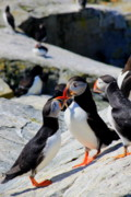 Atlantic Puffin Posters - Atlantic Puffins Bickering Poster by John Burk