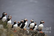 Puffin Photo Posters - Atlantic Puffins On Cliff Edge Poster by Greg Dimijian