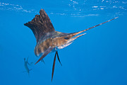 Blue Marlin Photo Metal Prints - Atlantic Sailfish Isla Mujeres Yucatan Metal Print by Reinhard Dirscherl