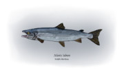 Salmon Drawings Posters - Atlantic Salmon Poster by Ralph Martens
