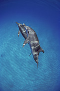 Atlantic Spotted Dolphin Posters - Atlantic Spotted Dolphin Pair Bahamas Poster by Flip Nicklin