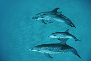 Atlantic Spotted Dolphin Posters - Atlantic Spotted Dolphin Pod Bahamas Poster by Flip Nicklin