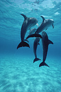 Atlantic Spotted Dolphin Posters - Atlantic Spotted Dolphins Bahamas Poster by Flip Nicklin