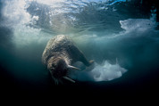 Foxe Posters - Atlantic Walrus Bull Swimming Near Sea Poster by Paul Nicklen