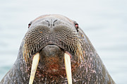 Tusk Metal Prints - Atlantic Walrus Metal Print by Thomas Chamberlin