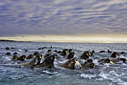 Tusks Prints - Atlantic Walruses Migrating From Russia Print by Paul Nicklen