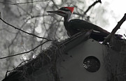 Pileated Woodpecker Posters - Atop the Bird Shack Poster by DigiArt Diaries by Vicky Browning