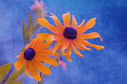 Black-eyed Susan Prints - Attachement - s11at01d Print by Variance Collections