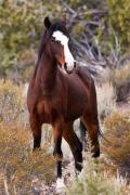 Wild Horse Prints - Attitude Print by James Marvin Phelps
