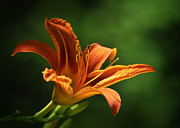 Daylily Photos - Auburn by Rebecca Sherman