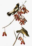 Naturalist Photo Posters - Audubon: Bobolink Poster by Granger