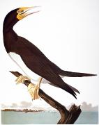 Brown Booby Prints - Audubon: Booby Print by Granger