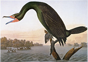 Phalacrocorax Auritus Prints - Audubon: Cormorant Print by Granger