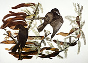 Naturalist Art - Audubon: Crow by Granger