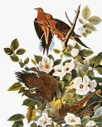 Naturalist Photo Posters - Audubon: Dove Poster by Granger