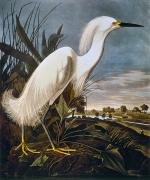 Naturalist Photo Posters - Audubon: Egret Poster by Granger