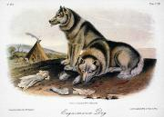 Arctic Dog Framed Prints - Audubon: Eskimo Dog Framed Print by Granger
