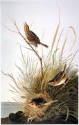 Biology Art - Audubon: Finch by Granger