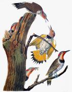 Biology Art - Audubon: Flicker by Granger