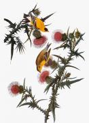 Thistle Framed Prints - Audubon: Goldfinch Framed Print by Granger