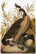 Naturalist Photo Posters - Audubon: Goose Poster by Granger