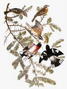 Naturalist Photo Posters - Audubon: Grosbeak Poster by Granger