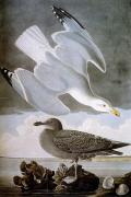 Biology Art - Audubon: Gull by Granger