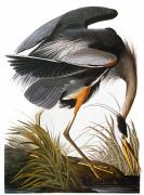 Flk Framed Prints - Audubon: Heron Framed Print by Granger