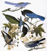 Birds Of America Acrylic Prints - Audubon: Jay And Magpie Acrylic Print by Granger